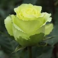Троянди чайно-гібридна Лімбо