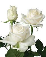 Троянди чайно-гібридна Едванс