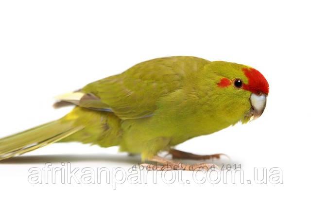 Попугай Какарик или Бегающие попугайчики. (•Коричные - рецессивная мутация)