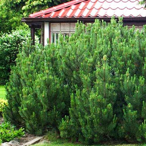 Сосна гірська карликова Mughus 2 річна, Сосна горная / карликовая Мугус, Pinus mugo Mughus