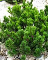 Сосна гірська карликова Mughus 2 річна, Сосна горная / карликовая Мугус, Pinus mugo Mughus, фото 2