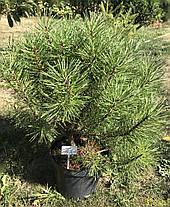 Сосна гірська карликова Mughus 2 річна, Сосна горная / карликовая Мугус, Pinus mugo Mughus, фото 3