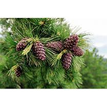 Сосна кедровая сибирская 2 річна, кедр сибирский, Сосна кедрова сибірська, Pinus sibirica, фото 3