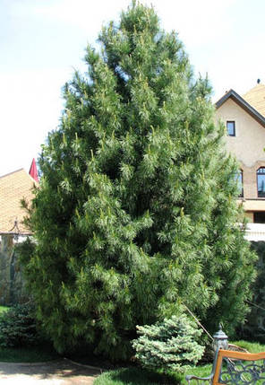 Сосна кедровая сибирская 2 річна, кедр сибирский, Сосна кедрова сибірська, Pinus sibirica, фото 2
