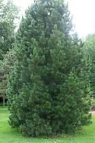 Сосна Румелійська / Балканська 2 річна, Сосна Румелийская / Балканская, Pinus peuce, фото 2
