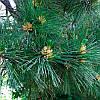 Сосна Румелійська / Балканська 2 річна, Сосна Румелийская / Балканская, Pinus peuce, фото 3