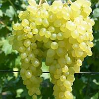 Виноград Надранній безнасінний