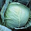 Толсма F1 - семена капусты белокочанной калиброванные 1 000 семян, Rijk Zwaan
