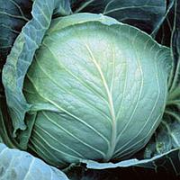 Толсма F1 - семена капусты белокочанной калиброванные 1 000 семян, Rijk Zwaan, фото 1