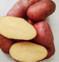 Картофель Эволюшен,  сетка 2,5 кг  /1-я репр/