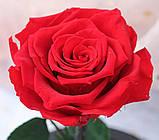 Вечная роза в колбе | Цветок роза под стеклом большая красная, фото 7