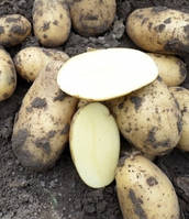 Картофель Гранада, сетка~2,5кг / 1-я репр/