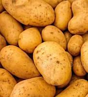 Картофель Челленджер,  сетка ~2,5 кг  /2-я репр/