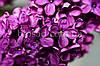 Бузок Блумеренг (Bloomerang®Dark Purple)
