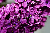 Бузок Блумеренг (Bloomerang®Dark Purple), фото 1
