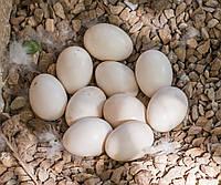 Яйца инкубационные гусиные, породы Итальянская белая
