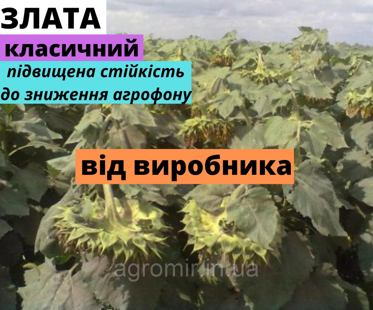 Гибрид Злата первое поколение от АФ НПП АГРОМИР