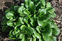 Валерианелла (маш-салат) 100