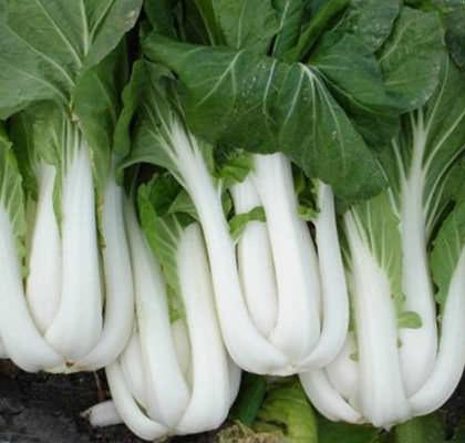 Семена капусты Пак Чой , микрозелень ,  1 кг