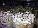 Блоки для вирощування Опеньок тополиний., фото 5