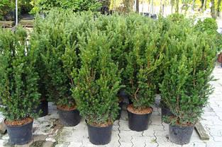 Тис середній Hillii 2 річний, Тис средний Хиллии , Taxus media Hillii, фото 3