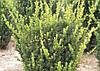 Тис середній Hillii 2 річний, Тис средний Хиллии , Taxus media Hillii, фото 2