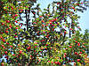 Тис ягідний 2 річний,Тис ягодный,Taxus baccata, фото 2