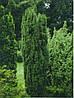Тис ягідний Fastigiata 2 річний, Тис ягодный Фастигиата, Taxus baccata Fastigiata, фото 2
