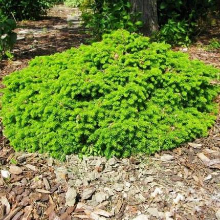 Ялина звичайна Little Gem 4 річна, Ель обыкновенная Литл Джем, Picea abies Little Gem, фото 2