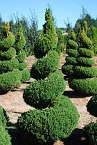 Ялина канадська Conica 3 річна, Ель канадская Коника, Picea glauca Conica, фото 3