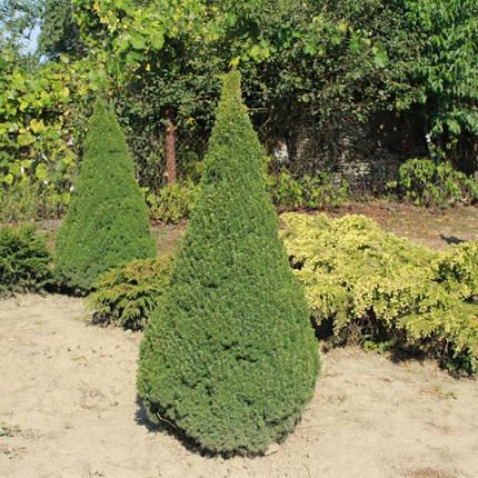 Ялина канадська Conica 3 річна, Ель канадская Коника, Picea glauca Conica, фото 2