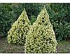 Ялина канадська Daisy's White 5 річна, Ель канадская Дейзи Уайт / Вайт, Picea glauca Daisy's White, фото 3