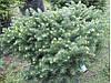 Ялина сербська Karel 3 річна, Ель сербская Карел , Picea omorika Karel, фото 3