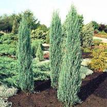 Ялівець скельний Blue Arrow 2 річний, Можжевельник скальный Блю Арроу , Juniperus scopulorum Blue Arrow, фото 2