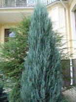 Ялівець скельний Blue Arrow 2 річний, Можжевельник скальный Блю Арроу , Juniperus scopulorum Blue Arrow, фото 3