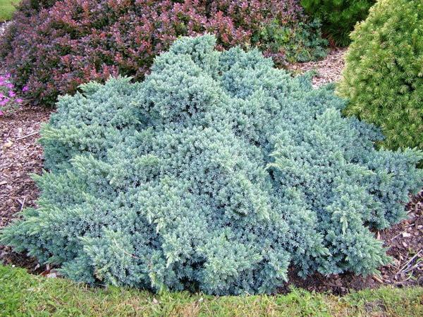 Ялівець лускатий Blue Star 2 річний, Можжевельник чешуйчатый Блю Стар, Juniperus squamata Blue Star