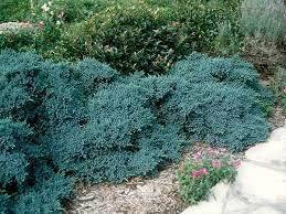 Ялівець лускатий Blue Star 2 річний, Можжевельник чешуйчатый Блю Стар, Juniperus squamata Blue Star, фото 2