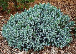 Ялівець лускатий Blue Star 2 річний, Можжевельник чешуйчатый Блю Стар, Juniperus squamata Blue Star, фото 3