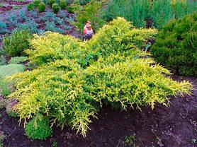 Ялівець середній Gold Coast 2 річний, Можжевельник средний Голд Кост, Juniperus media Gold Coast, фото 3