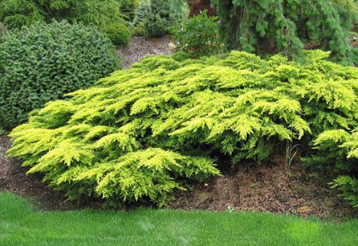 Ялівець середній Gold Coast 2 річний, Можжевельник средний Голд Кост, Juniperus media Gold Coast