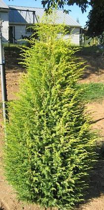 Ялівець звичайний Голд Кон 2 річний,Можжевельник обыкновенный Голд Кон, Juniperus communis Gold Cone, фото 2