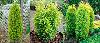 Ялівець звичайний Голд Кон 2 річний,Можжевельник обыкновенный Голд Кон, Juniperus communis Gold Cone, фото 3