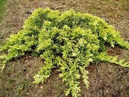 Ялівець горизонтальний Golden Carpet 4 річний, Можжевельник горизонтальный Golden Car, Juniperus Golden Carpet