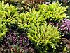 Ялівець горизонтальний Golden Carpet 4 річний, Можжевельник горизонтальный Golden Car, Juniperus Golden Carpet, фото 2