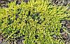 Ялівець горизонтальний Golden Carpet 4 річний, Можжевельник горизонтальный Golden Car, Juniperus Golden Carpet, фото 3