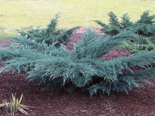 Ялівець віргінський Грей Оул 2 річний, Можжевельник виргинский Грей Оул, Juniperus virginiana Grey Owl, фото 2