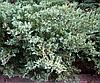 Ялівець віргінський Грей Оул 2 річний, Можжевельник виргинский Грей Оул, Juniperus virginiana Grey Owl, фото 4