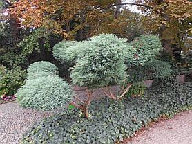 Ялівець віргінський Грей Оул 2 річний, Можжевельник виргинский Грей Оул, Juniperus virginiana Grey Owl, фото 3