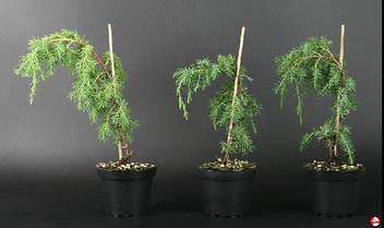 Ялівець звичайний Horstmann 3 річний, Можжвельник обыкновенный Хорстманн, Juniperus communis Horstmann, фото 3