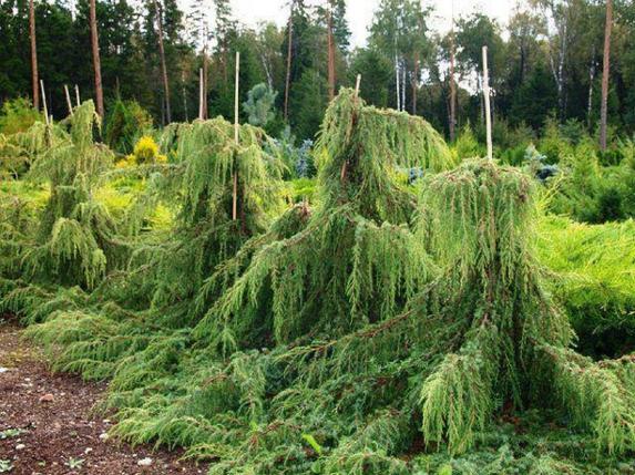 Ялівець звичайний Horstmann 3 річний, Можжвельник обыкновенный Хорстманн, Juniperus communis Horstmann, фото 2